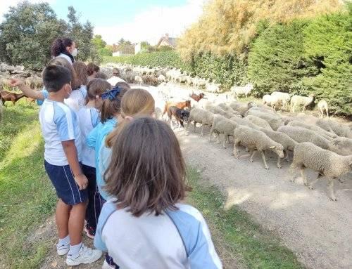 Villanueva de la Cañada recibe la visita de un millar de ovejas y cabras trashumantes